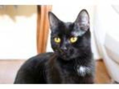 Adopt Kimche a Bombay, Domestic Short Hair
