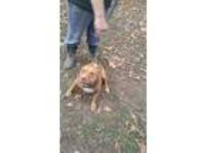 Adopt Ruby a Pit Bull Terrier