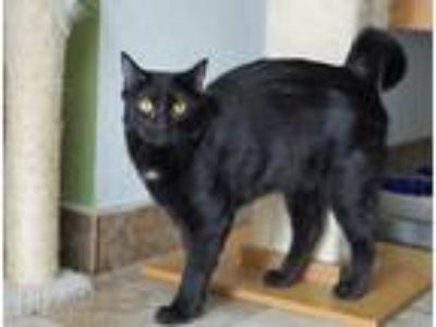 Adopt Miracle a Black (Mostly) Domestic Shorthair (short coat) cat in Green