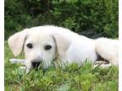 Adopt Beauregard a Great Pyrenees