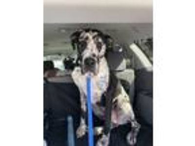 Adopt Harvey a Great Dane