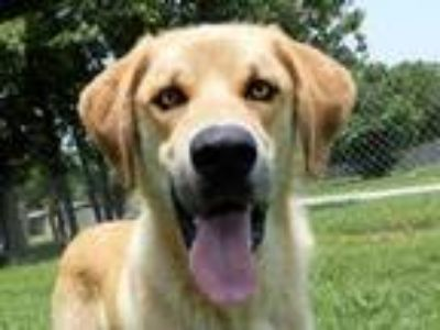 Adopt Arvin 5883 a Anatolian Shepherd, Golden Retriever
