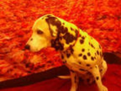 Adopt SPOTTY a White - with Black Dalmatian / Mixed dog in Upper Marlboro