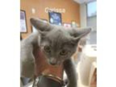 Adopt Carissa (Austin Ridge CT) a Domestic Short Hair