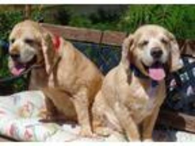 Adopt Scotch & Rocky a Tan/Yellow/Fawn Cocker Spaniel / Mixed dog in Newbury