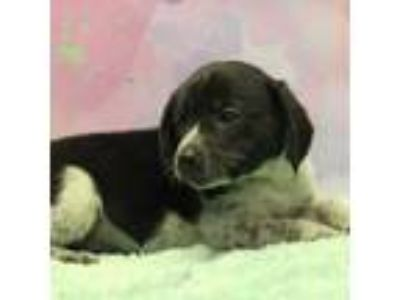 Adopt Emy (Has Application) a Black - with White Beagle dog in Washington
