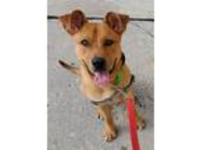 Adopt Hoover a Shepherd (Unknown Type) / Terrier (Unknown Type