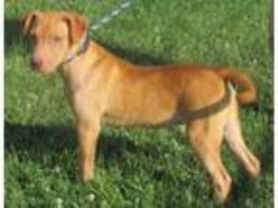 Adopt Paige a Tan/Yellow/Fawn American Staffordshire Terrier / Mixed dog in
