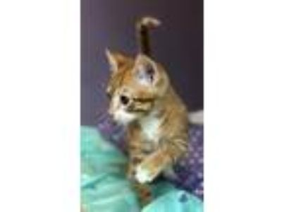 Adopt Churro a Orange or Red (Mostly) Domestic Shorthair / Mixed (short coat)