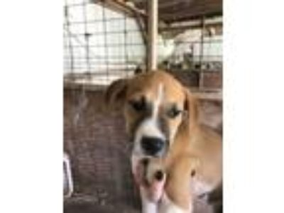 Adopt Switch a Tan/Yellow/Fawn - with White Boxer / Mixed dog in Hohenwald