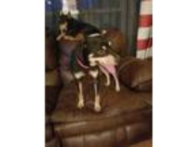 Adopt Shrek a Brown/Chocolate - with Tan Miniature Pinscher / Mixed dog in