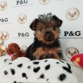 Yorkshire Terrier PUPPY FOR SALE ADN-105550 - YORKSHIRE TERRIER DUKE MALE