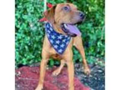 Adopt Bayard a Red/Golden/Orange/Chestnut Hound (Unknown Type) / Bloodhound /