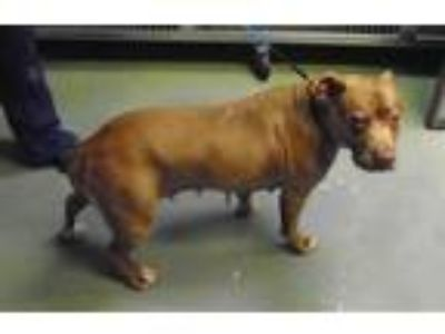 Adopt Tangerine a American Staffordshire Terrier / Mixed dog in Raleigh