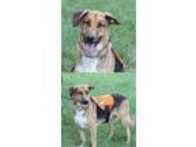 Adopt Harley (Molly's Carter) a German Shepherd Dog / Hound (Unknown Type) /