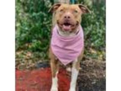 Adopt Sabella a Tan/Yellow/Fawn - with White Pit Bull Terrier / Mixed dog in
