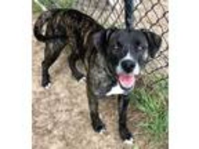 Adopt Squirt a Brindle Pit Bull Terrier dog in Weatherford, TX (25527397)