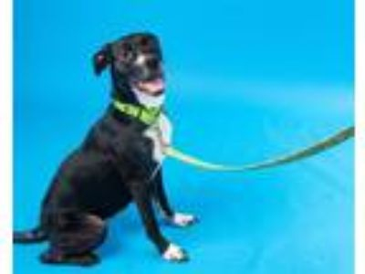 Adopt Checkers a Pit Bull Terrier