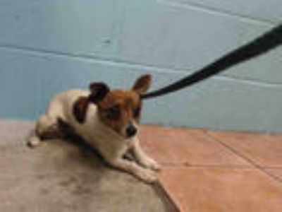Adopt CHIQUITA a White - with Brown or Chocolate Rat Terrier / Mixed dog in