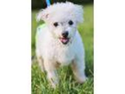 Adopt Grandpa Sam a White Miniature Poodle / Mixed dog in Marietta
