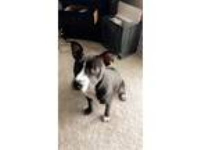 Adopt Flo Jo a Black - with White American Pit Bull Terrier dog in Norcross