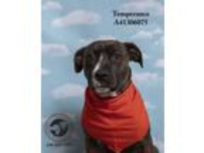 Adopt Temperance a Boxer, Pit Bull Terrier
