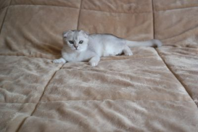 Scottish fold girl/ silver shaded