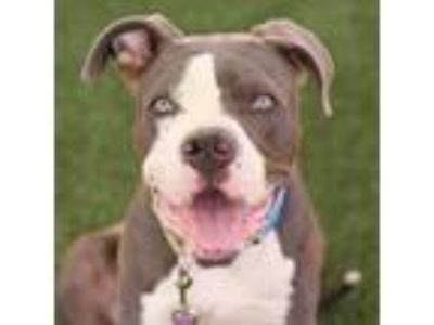 Adopt *MORTY a Black American Pit Bull Terrier / Mixed dog in Las Vegas