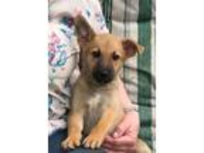 Adopt Malcome a German Shepherd Dog