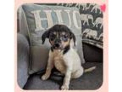 Adopt Penny a Tricolor (Tan/Brown & Black & White) Beagle / Mixed dog in