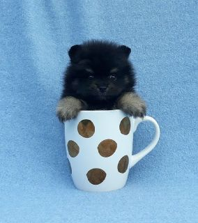 Teacup purebred pomeranian puppy male