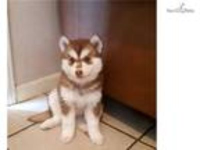 Female Pomsky for Sale
