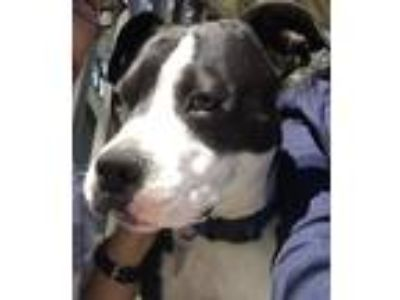 Adopt Harvey a Black - with White American Pit Bull Terrier / Mixed dog in