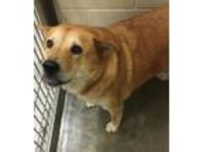 Adopt Daisy a Brown/Chocolate - with Tan Chow Chow / Mixed dog in Little Elm