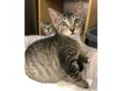 Adopt Olivia (Livy) a Brown Tabby Domestic Shorthair / Mixed (short coat) cat in