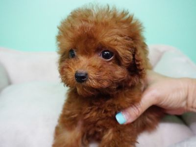 Poodle (Miniature) PUPPY FOR SALE ADN-104361 - French Poodle Female Aria