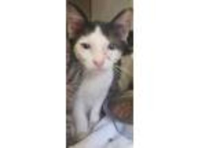 Adopt Andrew a All Black Domestic Shorthair / Domestic Shorthair / Mixed cat in