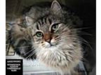 Adopt Buttercup a Brown or Chocolate Maine Coon / Domestic Shorthair / Mixed cat