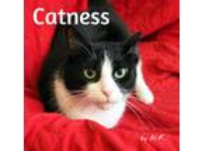 Adopt Catness a Black & White or Tuxedo Ragdoll (medium coat) cat in
