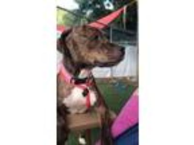 Adopt Brittany a Brown/Chocolate American Pit Bull Terrier / Mixed dog in Kansas