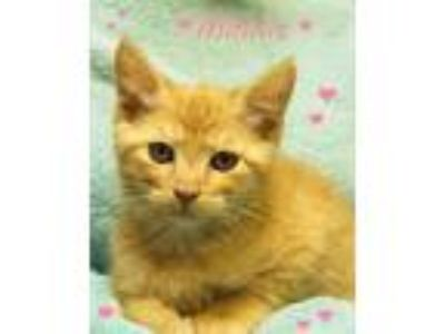 Adopt Minnie a American Shorthair