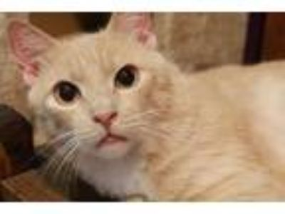 Adopt Manny a Orange or Red Domestic Shorthair / Mixed (short coat) cat in