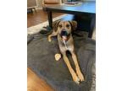 Adopt Walter a Tricolor (Tan/Brown & Black & White) Redbone Coonhound / German
