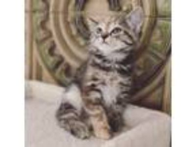 "Adopt Evangeline's Kitten ""Esme"" a Domestic Shorthair / Mixed cat in Washington"