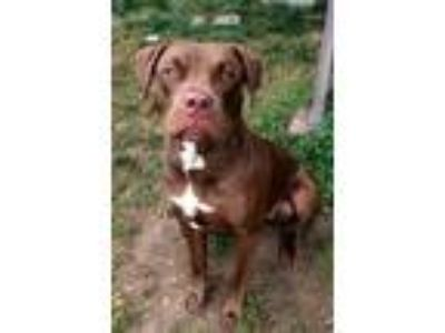 Adopt Cinnamon *IN DANGER* NEEDS IMMED FOSTER HOMES a American Staffordshire