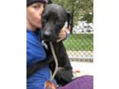 Adopt Mary a Black American Pit Bull Terrier / Mixed dog in Lowell