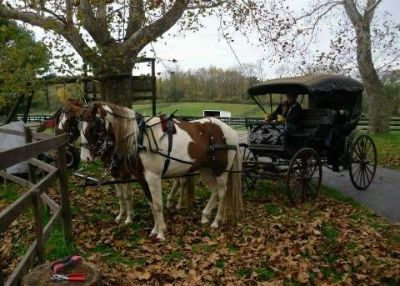 Team of Spotted Horses with Harness and Surrey