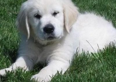 ghfjtru Golden retriever puppies ready for a lovely home