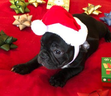 French Bulldog PUPPY FOR SALE ADN-108350 - French Bulldog Puppy