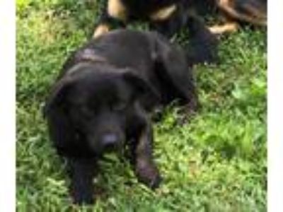 Adopt Vader a Black Labrador Retriever / Australian Shepherd / Mixed dog in